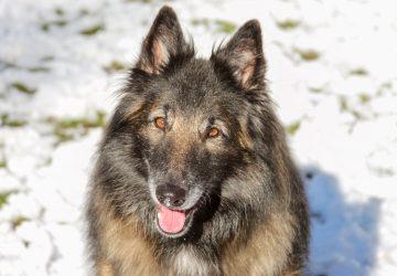 Detection Dog Da Vinci in Snow
