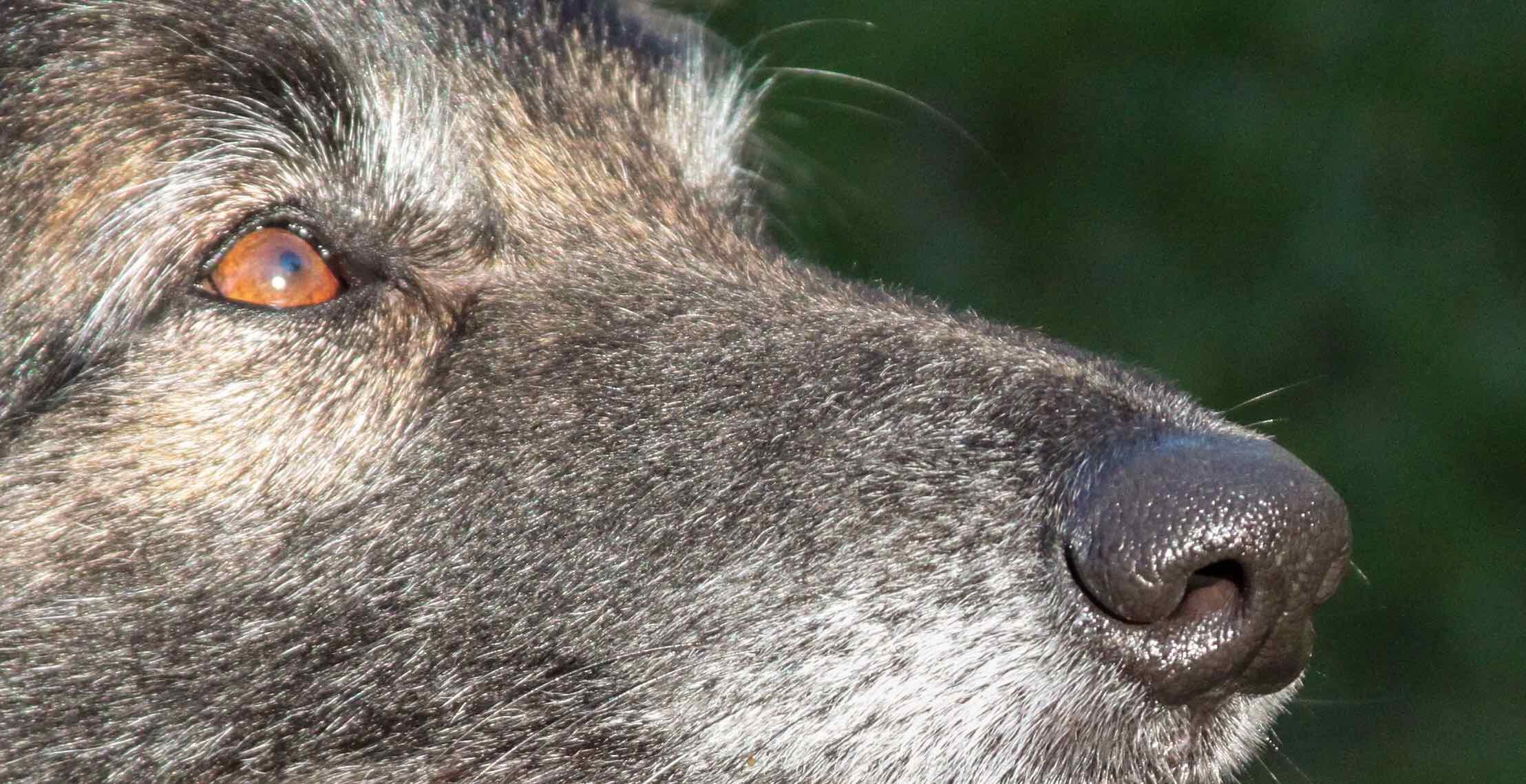Detection Dog Nose
